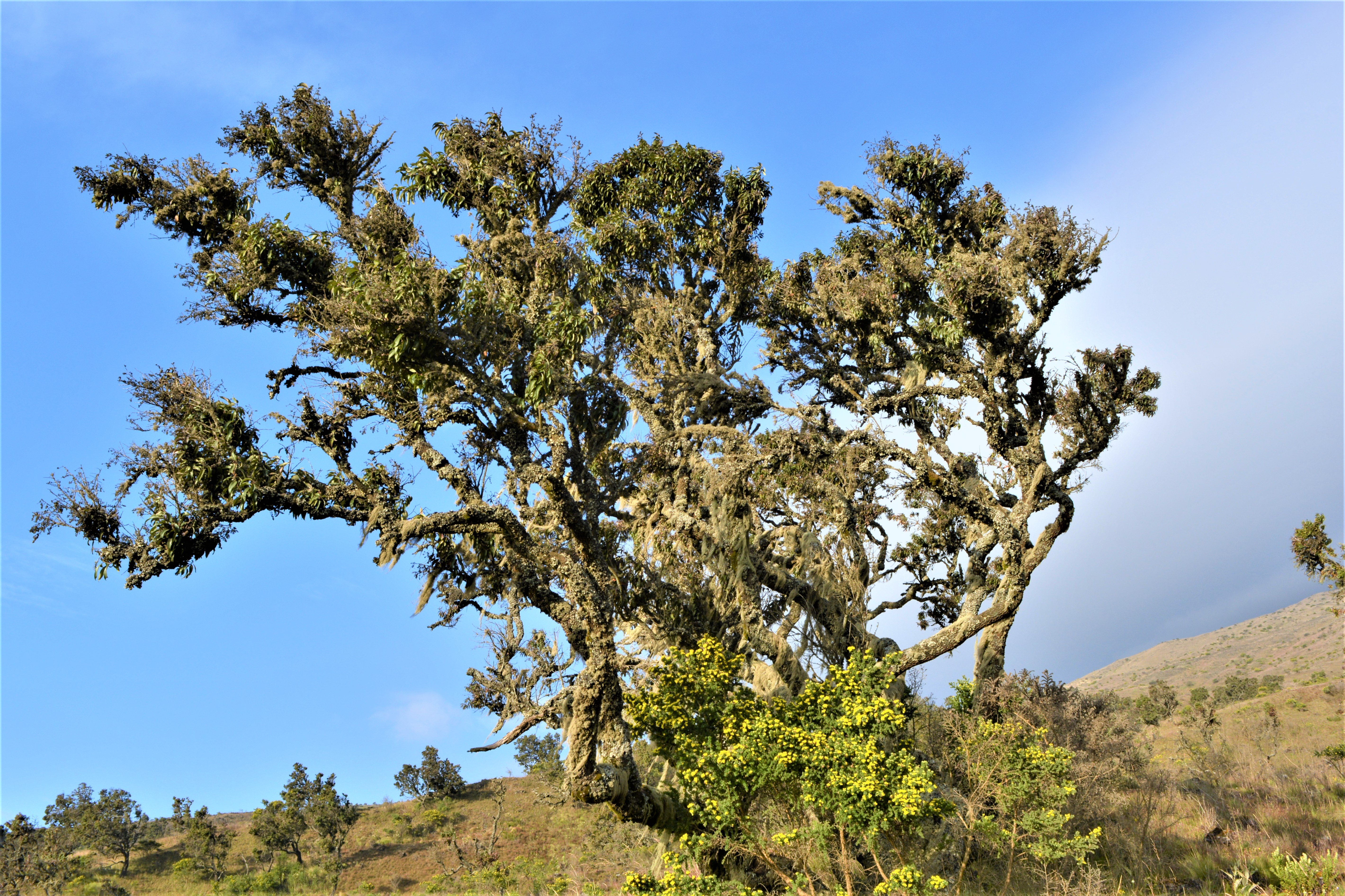 mt-cameroon-day-two-trees