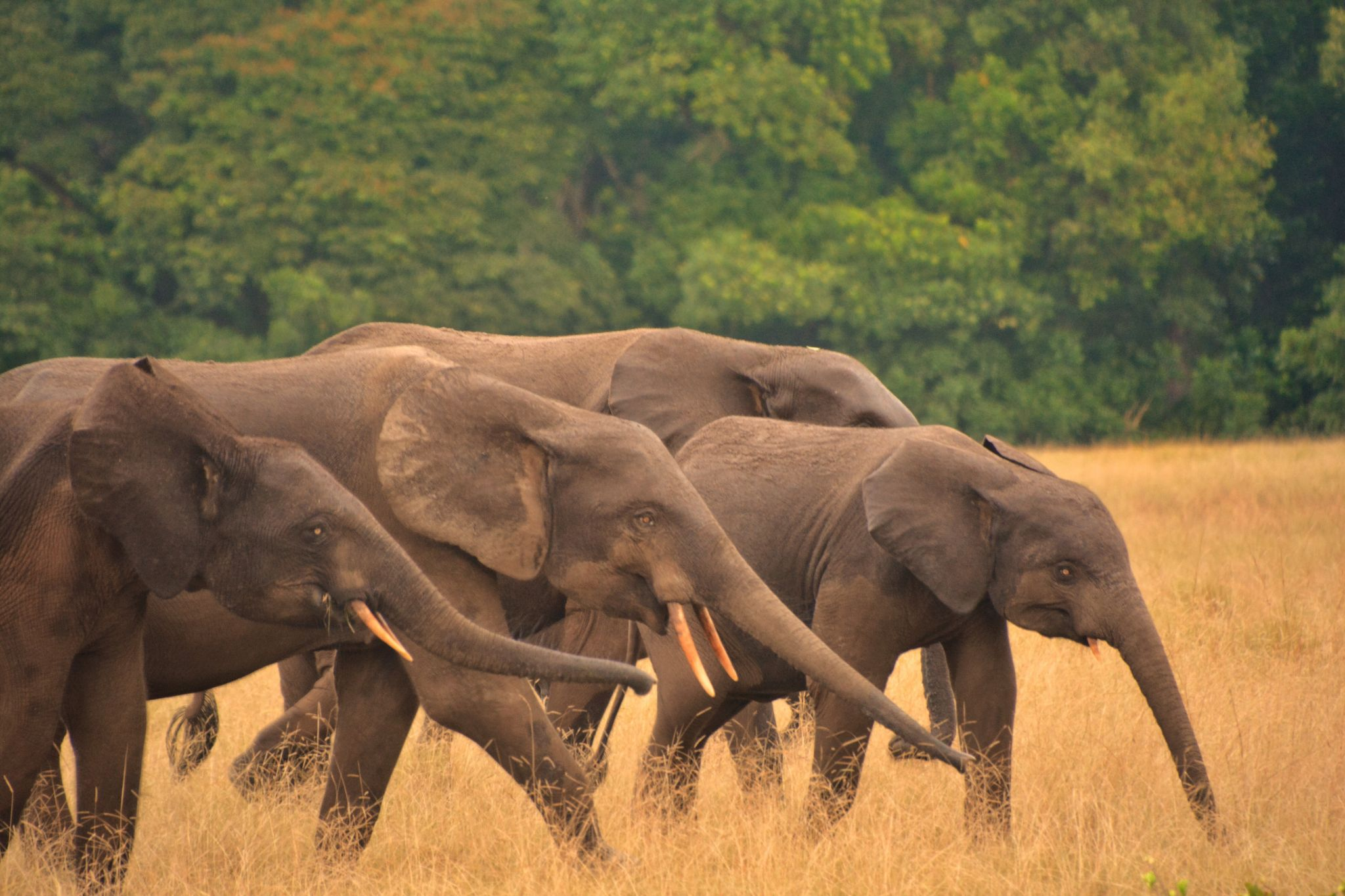 'Pygmy' Forest Elephants at Loango National Park, Gabon