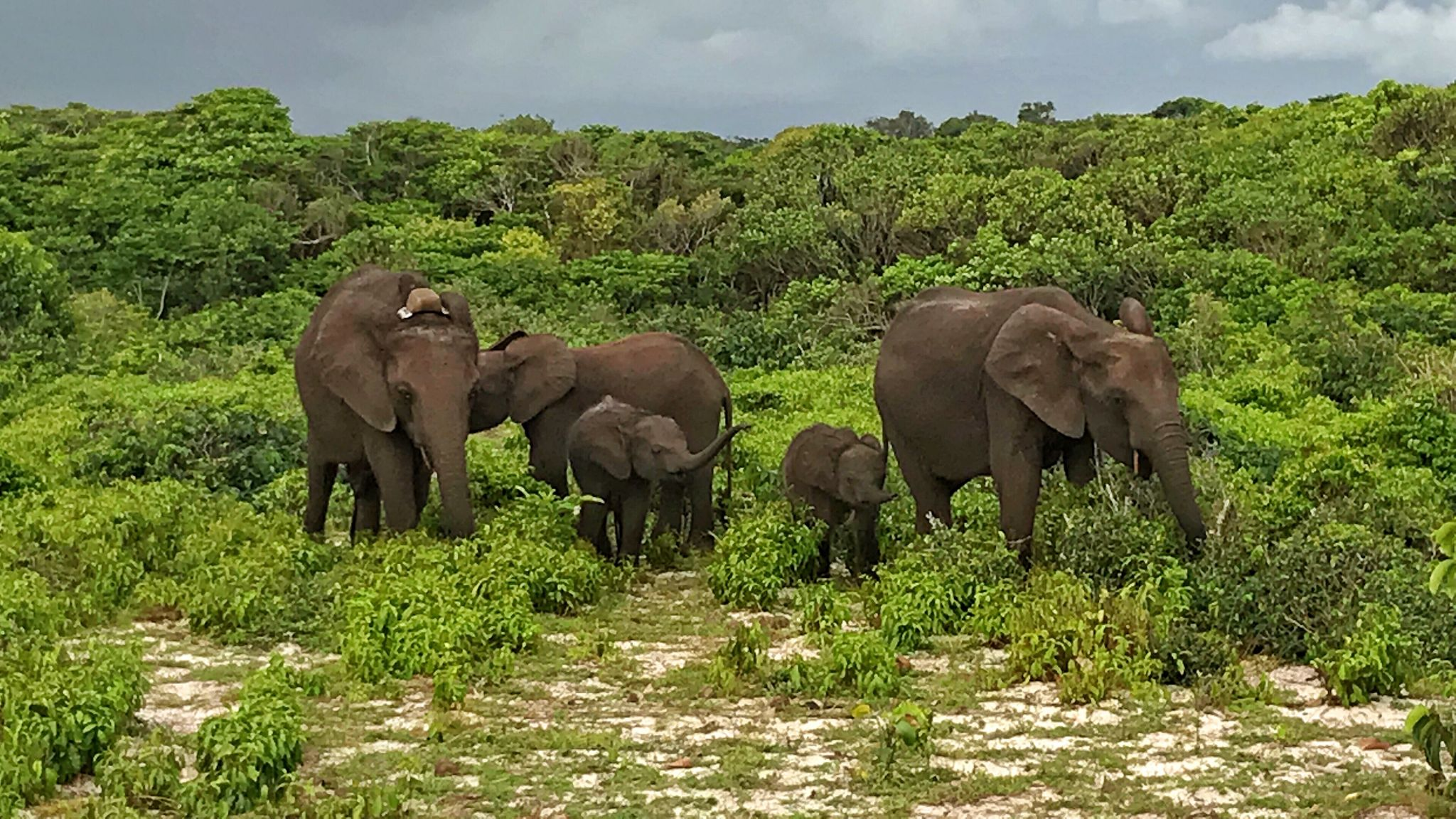 Forest elephants on shoreline in Loango National Park, Gabon