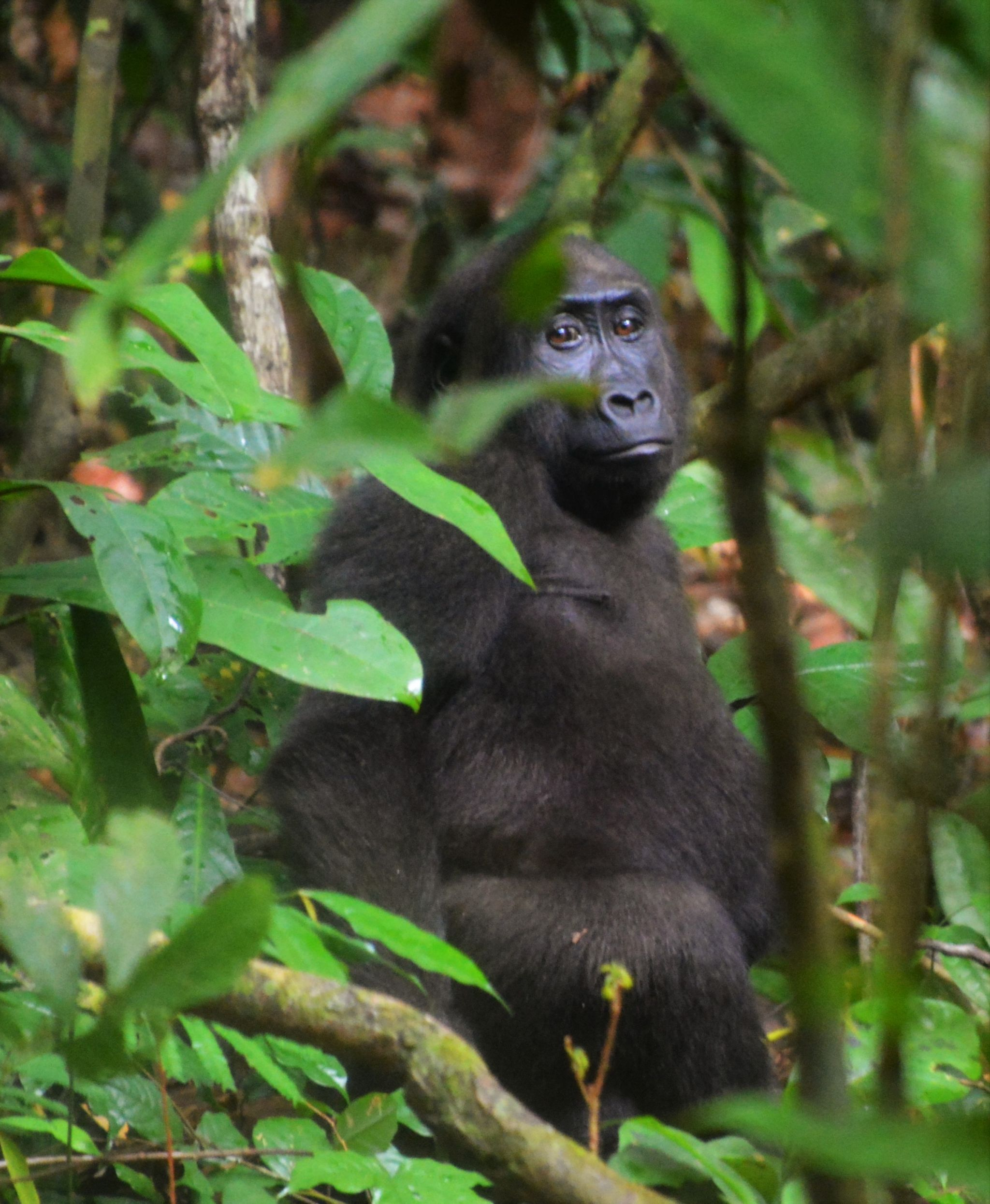 Loango Gorilla amongst the foliage