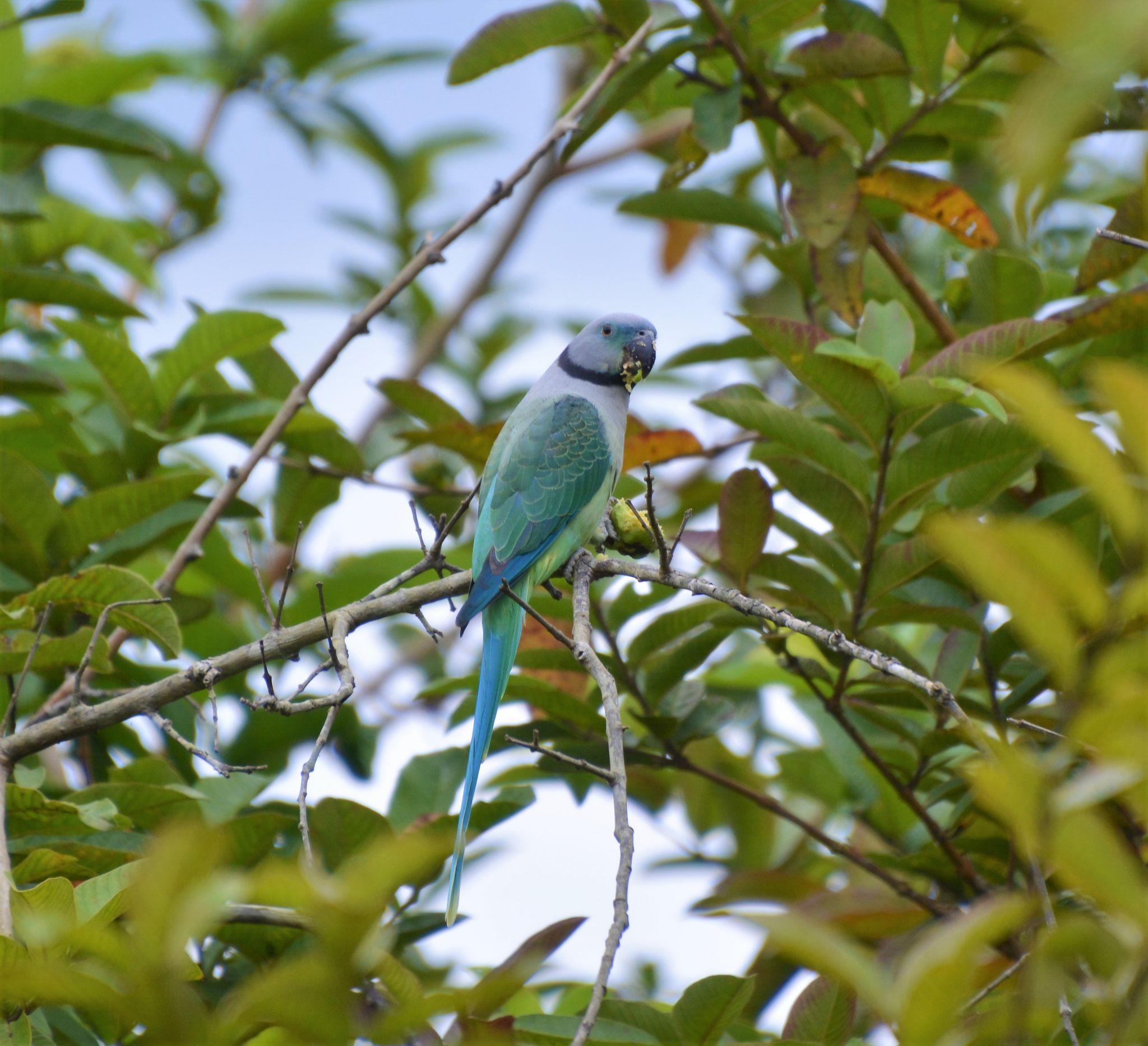 Parakeet, Periyar Tiger Reserve, Kerala